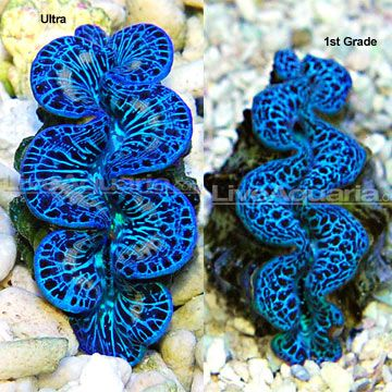 Maxima Clam, Blue/Turquoise - Aquacultured (Tridacna maxima) Care Level: Moderate Reef Compatible: Yes Lighting: High Waterflow: Medium Placement: Bottom to Middle Water Conditions: 72-78° F, dKH 8-12, pH 8.1-8.4, sg 1.023-1.025 Color Form: Blue, Green Diet: Filter Feeder Supplements: Calcium, Trace Elements Origin: Aquacultured - USA Family: Tridacnidae
