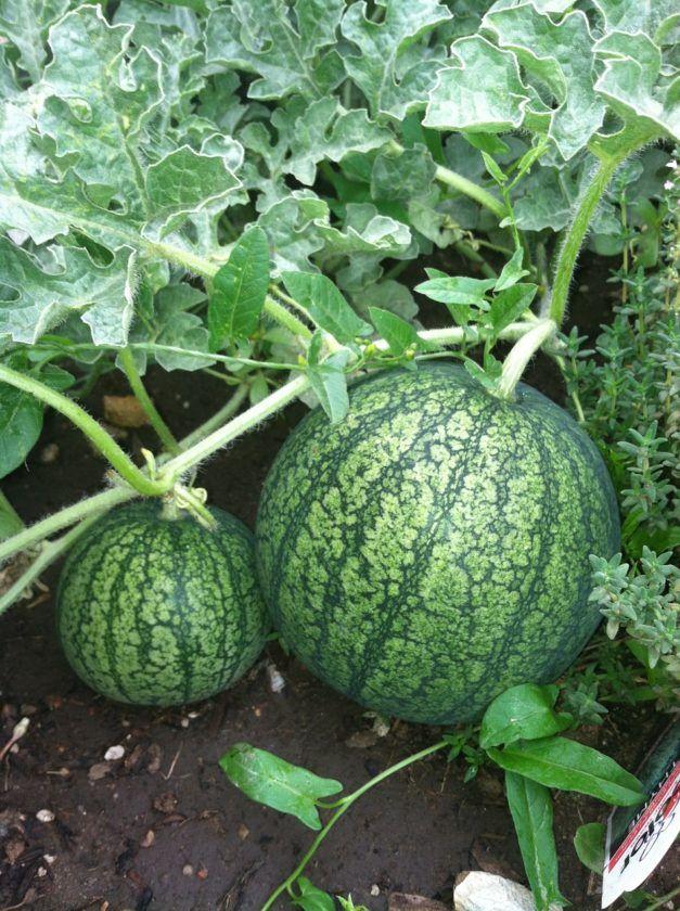 Melonen Im Garten Anbauen Pflegen Und Ernten Beetfreunde De Wassermelone Anbauen Wassermelone Pflanzen Melonen Pflanzen