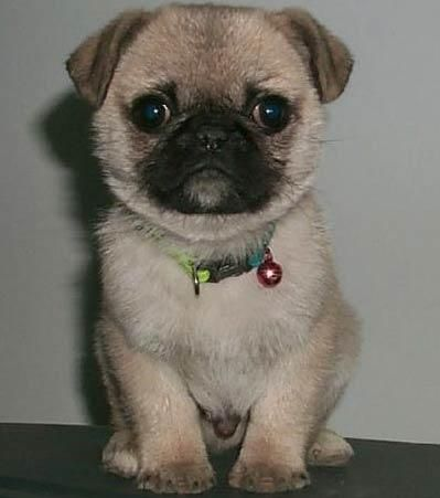pug + boston terrier mix = bug!    @Stephanie Close Browne It is Hazel and Dayton's love child :-)