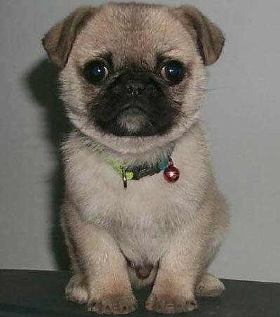 pug + boston terrier mix = bug!    @Stephanie Close Browne It is Hazel and Dayton's love child :-)