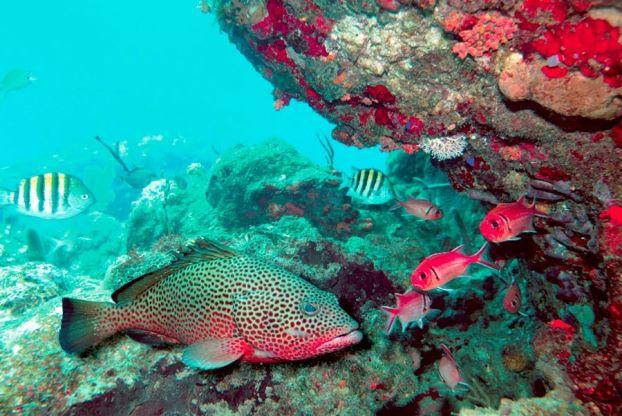 Rencontre avec un mérou dans les fonds sous-marin de la Guadeloupe
