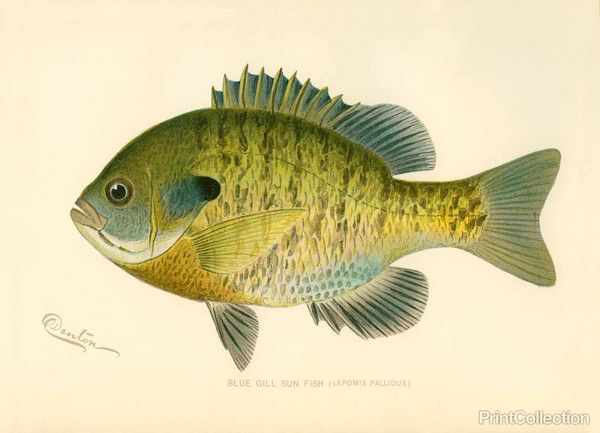 PrintCollection - Blue Gill Sun Fish