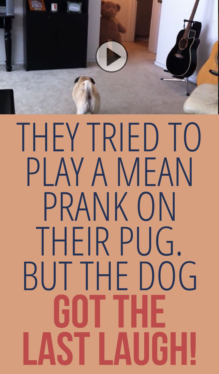 They Tried To Play A Mean Prank On Their Pug But The Dog Got The Last Laugh!