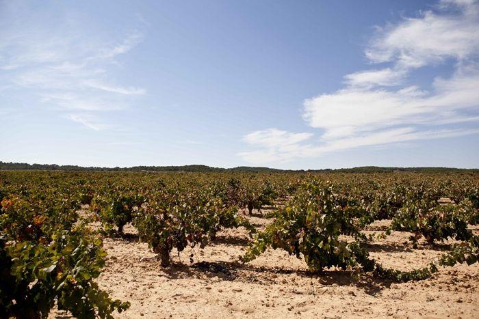 Murviedro apuesta por la Bobal: La bodega compra de una finca de 10 hectáreas de cepas viejas de 70 años