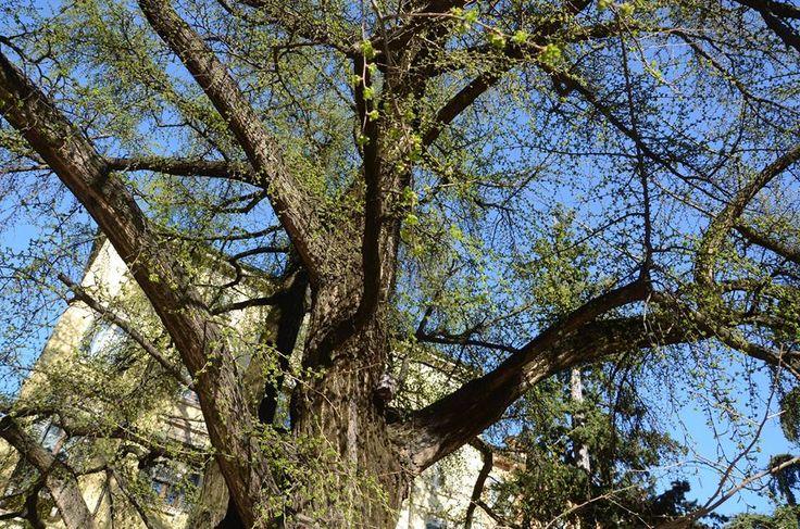 I due ginko biloba centenari di Piazza Viviani mettono le prime foglie. The first leaves on the two centennial ginko biloba trees in Piazza Viviani