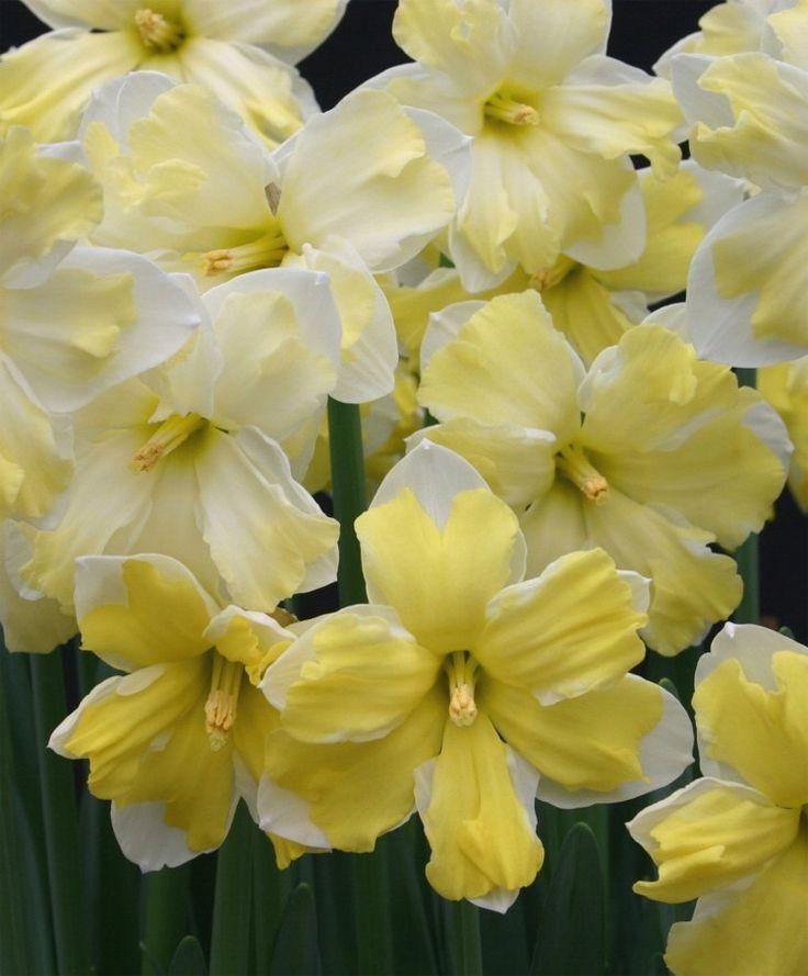 Narcissus Cassata - Split-Cup Narcissi - Narcissi - 50