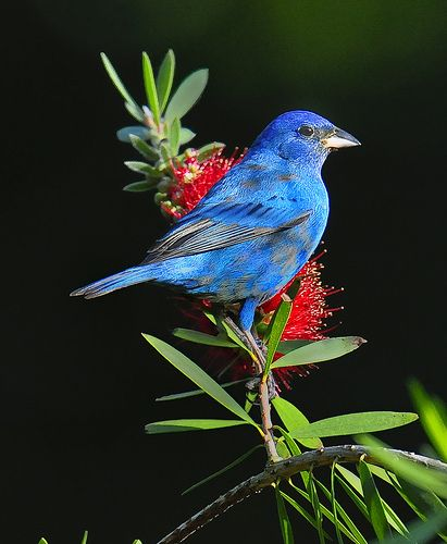Search the world looking  for Blue Bird of Happiness to come home to find he was always in your back yard all the time.: Bluebirds, Color, Backyard