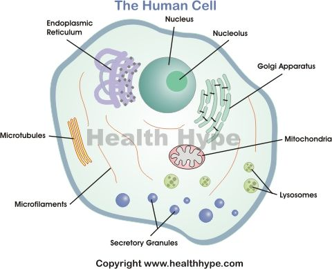 parts of a human cell | Diagram of the human cell illustrating the different parts of the cell ...