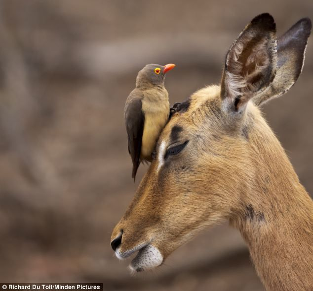 This red-billed oxpecker gave another impala a thorough clean around its head and ears. Source: Daily Mail