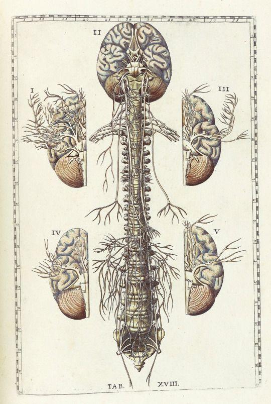 Best 20 colonne vertebrale ideas on pinterest la colonne vert brale ost opathie and ost opathe - Tatouage colonne vertebrale ...