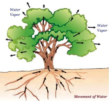 Transportation is a vital process in plants. Trees ...