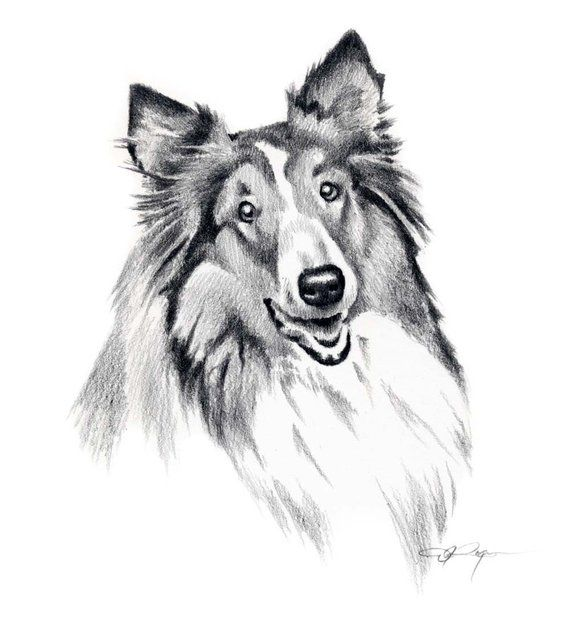 Collie Dog Art Print Pencil Drawing By Artist Dj Rogers Pencil