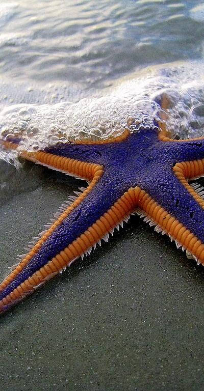 Estrella de mar purpura y naranja en la playa
