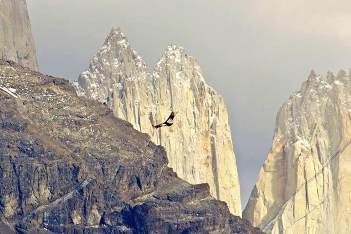 Majestuoso Condor , Planea en la TORRES DEL PAINE