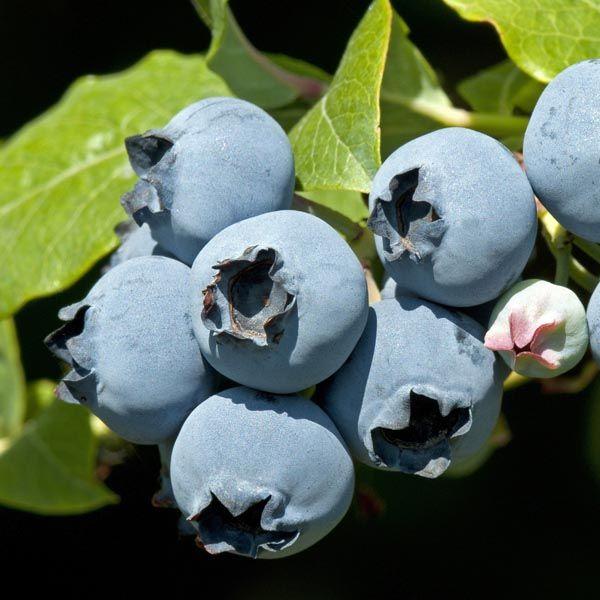 Blueberry (Vaccinium corymbosum)   My Garden Life