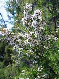 L'huile essentielle de tea tree est indique pour soigner les affections de la peau, elle est aussi très puissante pour chasser les poux.
