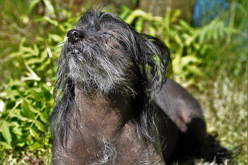 Hund, Chinesischer Schopfhund
