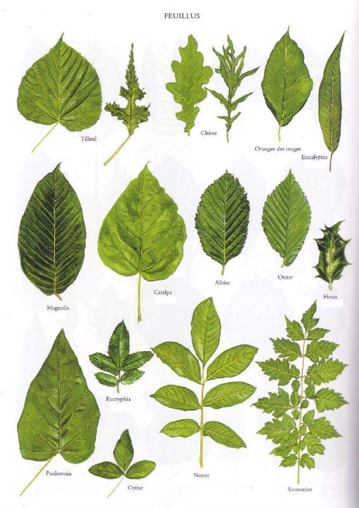 17 meilleures id es propos de dessins d 39 arbres sur for Plante 7 feuilles