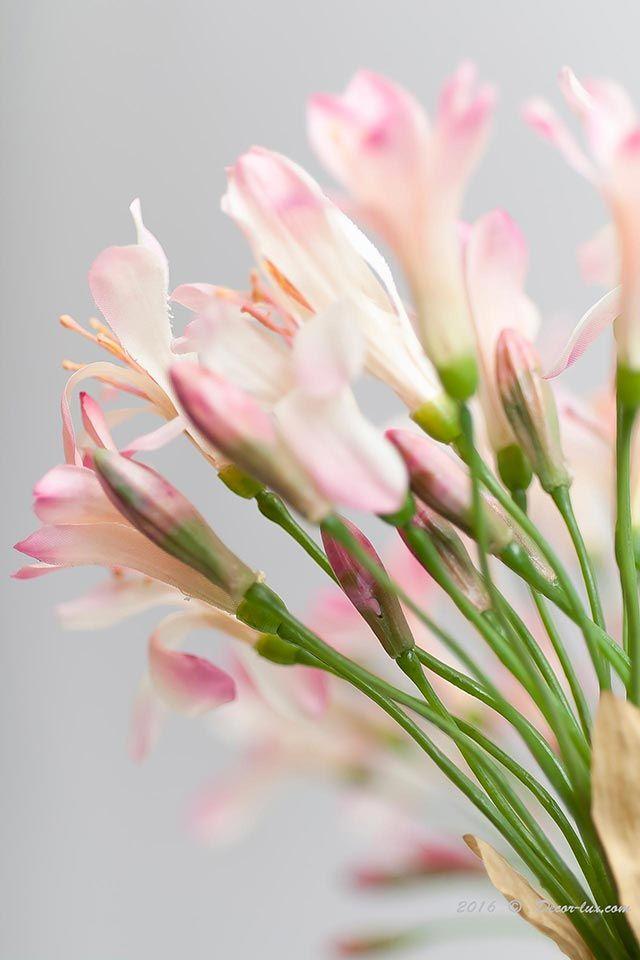 Агапантус кремово-розовый.