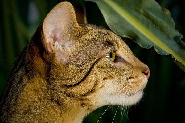 Ashera Cat - $22,950: WOW