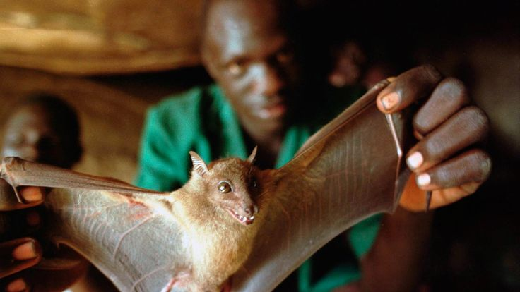 The usual suspect: Bats harbor dozens of deadly viruses, such as rabies and influenza. Several studies suggest that bats may also carry Ebola. | www.npr.org