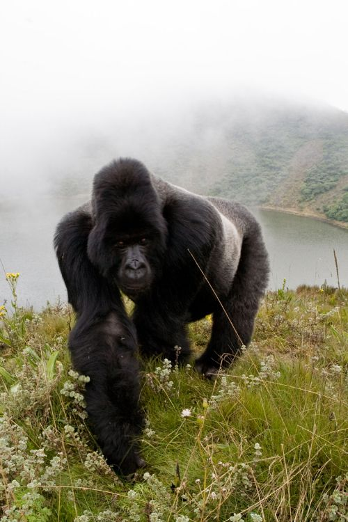 Groups of gorillas are led by one dominant, older adult male, called a silverback because of the of silver hair that cover his back.