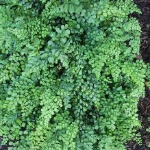 Himalayan Maidenhair Fern for sale buy Adiantum venustum