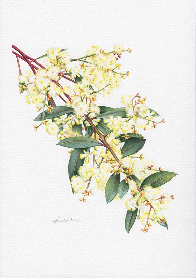 australian flora drawings - Google Search