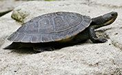 The Turtle was a Murray River turtle.