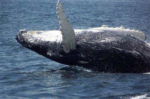 Lots of humpbacks in Bonavista Bay!