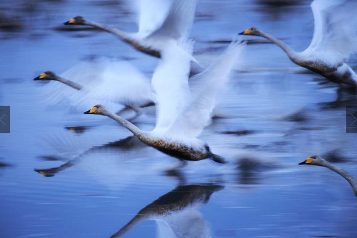 National Geographic's Travel Photographer of the Year Contest 2017    TO LIVE.  PHOTO AND CAPTION BY  HIROMI KANO           Swans glide over the water in Kabukurinuma, Osaki, Japan, a protected wetland. Since many of Japan's wetlands have been lost, this area has become a rare wintering place for birds and may be a last paradise for them. I was particularly impressed by the swans, and careful not to disturb them when taking pictures. I took into account wind direction and shutter speed to…