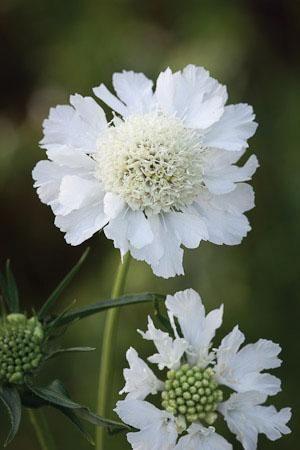 Scabiosa caucasia perfecta 'Alba' - for cutting - wedding table flower bouquets x