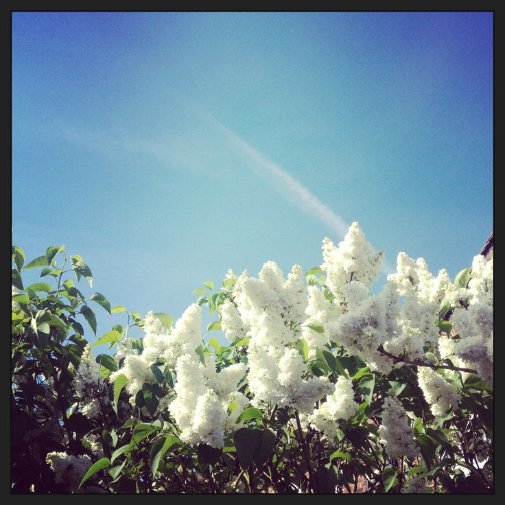 68 best white flowers at my garden images on pinterest white white flowers mightylinksfo