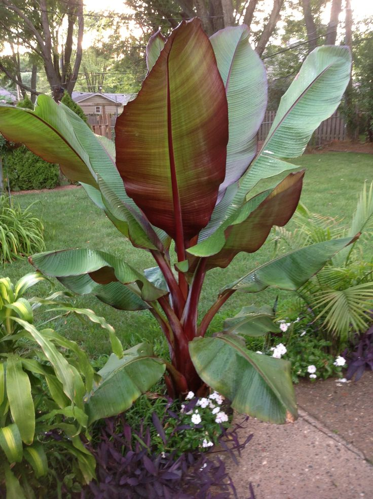 How to Grow Bananas. Photo shows Red banana tree - a variety producing softer and sweeter fruit than the common Cavendish varieties, with a slight raspberry flavor.