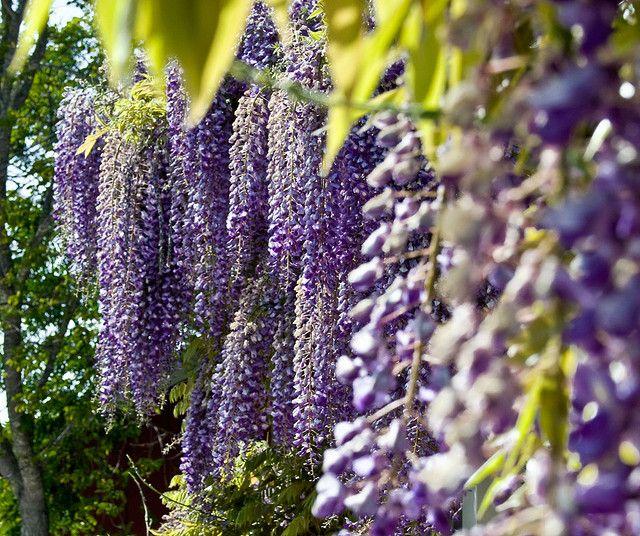 Glicina la planta venenosa m s linda de todas blog for Planta venenosa decorativa
