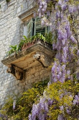 Wisteria growing on a palazzo in the historic town centre of Sibenik,Croatia