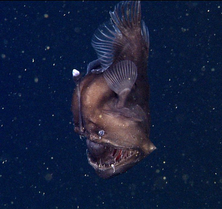 A rare deep-sea anglerfish off of the coast of California about 1,900 feet below the ocean's surface.