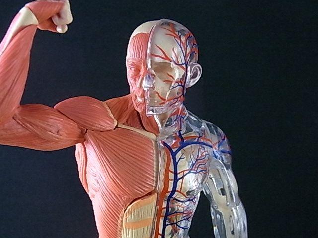 人体解剖模型(筋肉モデル) 【RCP】:楽天