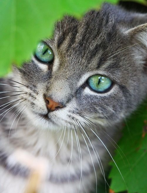 17+ best ideas about Grey Tabby Cats on Pinterest | Cute ... Gray And White Cat With Green Eyes