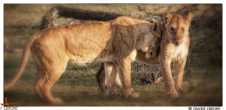 Lionesses of the Masai Mara.  Lions in general are social and affectionate in between meals!   Always remarkable to watch.  Photo by #avaniamore  www.avaniamore.com