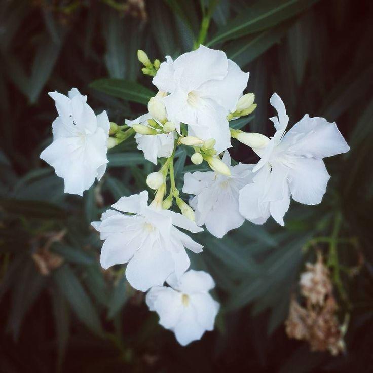 #fiori #oleandro #macro #picoftheday #tbt #instagood #photooftheday