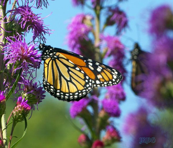 School Butterfly Garden Tip 4- Butterfly season is in full swing across most of North America when school begins in September, and the magical monarch migration is just beginning. Fall Blooming plants are a must if you want to become a busy migration fuel stop!