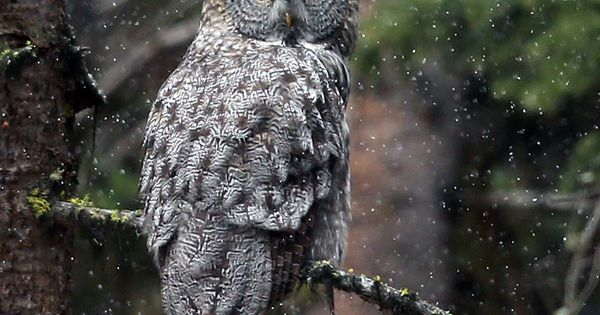 This huge gray owl species is the largest, but not in the way you might think.