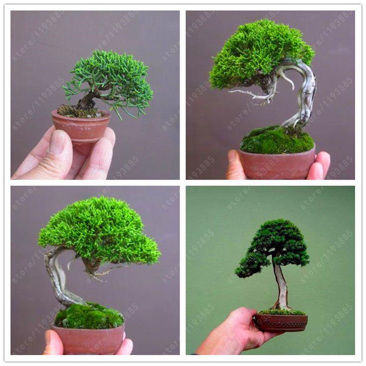 50 pcs/bag Miniature pine seeds, bonsai tree seeds, indoor woody plants, pine tree perennial plant for miniature garden   Price: 0.47 USD