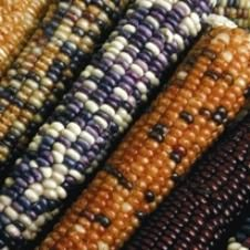 Organic Wachichu Flint Corn Seeds