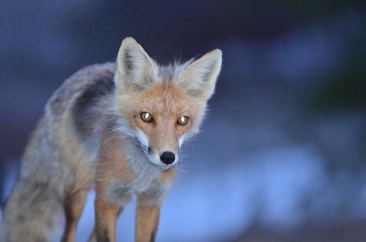 White Lake Provincial Park - Red fox
