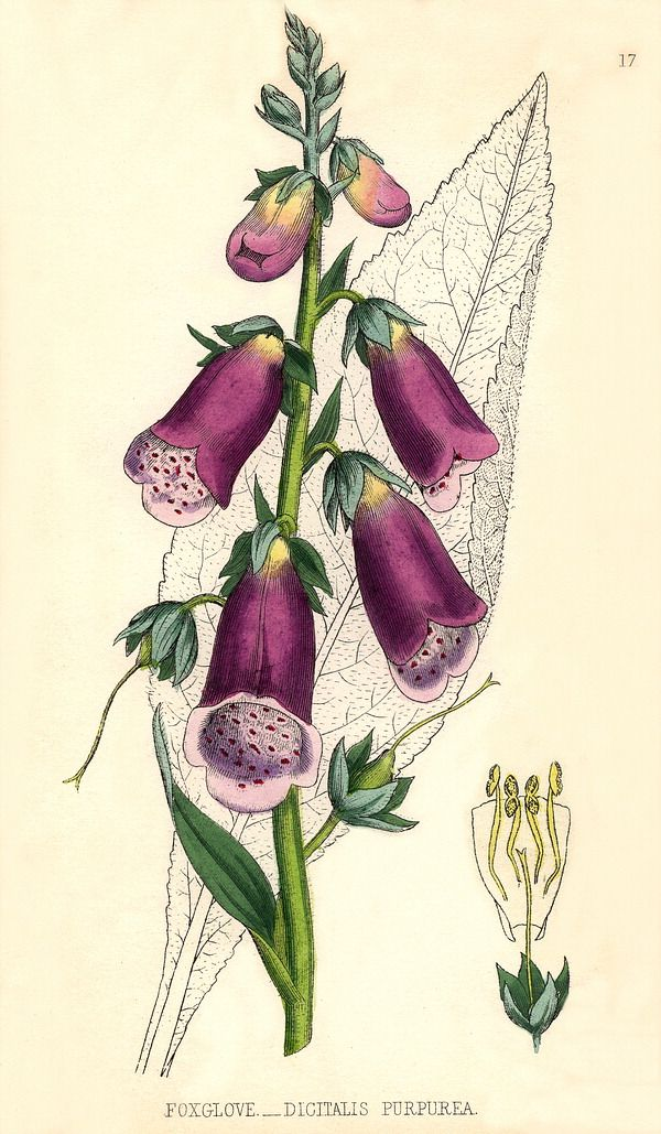 COMMON FOXGLOVE - ROTER FINGERHUT - DEDALERA (Digitalis purpurea) Due to the presence of the cardiac glycoside digitoxin, the leaves, flowers and seeds of this plant are all poisonous to humans and some animals and can be fatal if eaten.