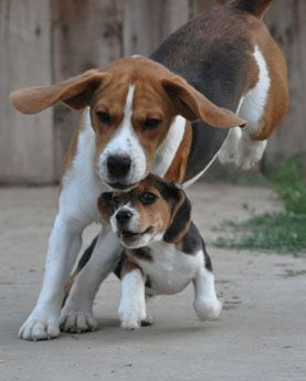 This is what it's like when I am walking in the house. I'm the big dog and Gunnar is the little one.