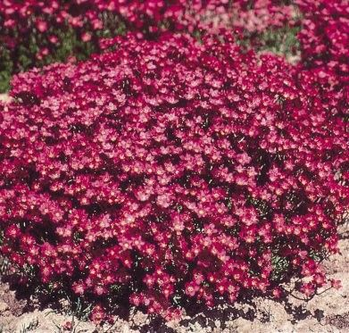 Couvre sol Saxifrage d'Arends Purple Robe