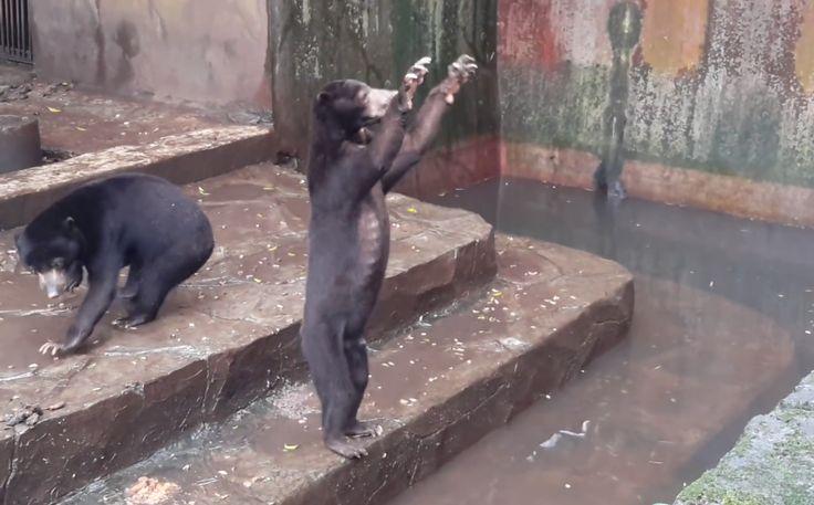A saját ürüléküket is megeszik az éhező medvék. Az állatok megmentésére és az állatkert bezárására már petíciót is indítottak.  Csontsoványra fogytak és éheznek a maláj medvék egy indonéziai állatkertben – derült ki néhány Youtube-ra feltöltött videóból. A felvételeken az látszik, hogy a le...
